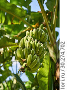 Купить «Banana tree with bunches of green fruit on sunny background», фото № 30274702, снято 15 февраля 2019 г. (c) Andriy Bezuglov / Фотобанк Лори