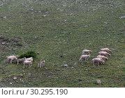 Купить «Овцы пасутся в горах Алтая», фото № 30295190, снято 8 июня 2018 г. (c) Free Wind / Фотобанк Лори
