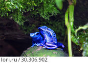Лягушка голубой древолаз. Dyeing Poison Frog. Стоковое фото, фотограф Галина Савина / Фотобанк Лори