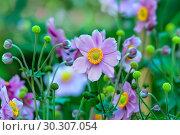 Купить «Цветы анемоны (Anemone hupehensis)», фото № 30307054, снято 17 сентября 2018 г. (c) Татьяна Белова / Фотобанк Лори