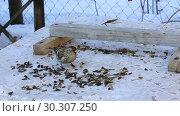 Чечетка и синица клюют семечки. Стоковое видео, видеограф Александр Романов / Фотобанк Лори