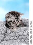 Купить «British Shorthair Kitten», фото № 30310466, снято 12 марта 2019 г. (c) age Fotostock / Фотобанк Лори