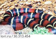 Молочная змея. Central American Milksnake. Стоковое фото, фотограф Галина Савина / Фотобанк Лори