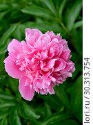 Купить «Розовый цветок пиона (Paeonia L.)», фото № 30313754, снято 1 июня 2016 г. (c) Ирина Борсученко / Фотобанк Лори