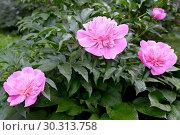 Купить «Куст розовых цветов пиона (Paeonia L.) в саду», фото № 30313758, снято 2 июня 2016 г. (c) Ирина Борсученко / Фотобанк Лори