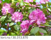 Купить «Цветение розового рододендрона (Rhododendron L.)», фото № 30313870, снято 31 мая 2015 г. (c) Ирина Борсученко / Фотобанк Лори