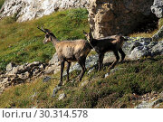 Купить «10870000, Alps, alpine, fauna, Alpine fauna, alpine Chamois, mountains, mountain fauna, mountain world, Bern, Bernese Oberland, Chamois, family, fauna...», фото № 30314578, снято 6 сентября 2009 г. (c) age Fotostock / Фотобанк Лори