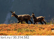 Купить «10870004, Alps, alpine, fauna, Alpine fauna, alpine Chamois, mountains, mountain fauna, mountain world, Bern, Bernese Oberland, Chamois, family, fauna...», фото № 30314582, снято 6 сентября 2009 г. (c) age Fotostock / Фотобанк Лори
