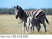 Купить «Common zebra Equus burchelli, mare lactating foal, Africa, Namibia, Etosha NP, Apr 04.», фото № 30314926, снято 27 мая 2019 г. (c) age Fotostock / Фотобанк Лори