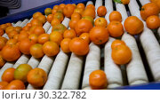 Купить «View of ripe mandarin oranges on conveyor belt of sorting production line», видеоролик № 30322782, снято 29 января 2019 г. (c) Яков Филимонов / Фотобанк Лори