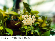Купить «White hoya flowers on blurred background», фото № 30323046, снято 13 марта 2019 г. (c) Евгений Харитонов / Фотобанк Лори