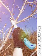 Купить «Young handsome man makes spring pruning of fruit trees.», фото № 30323702, снято 20 апреля 2014 г. (c) Акиньшин Владимир / Фотобанк Лори