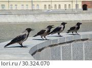 Купить «Городские серые вороны (лат. Corvus cornix)», фото № 30324070, снято 15 июня 2018 г. (c) Елена Коромыслова / Фотобанк Лори