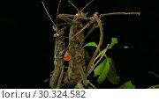 Купить «Insects mating of Golden-Eyed Stick Insect (Peruphasma schultei) on black background. Macro video.», видеоролик № 30324582, снято 8 августа 2018 г. (c) Некрасов Андрей / Фотобанк Лори