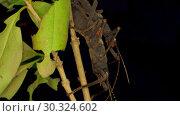 Купить «Insects mating of Golden-Eyed Stick Insect (Peruphasma schultei) on black background. Macro video, 4K - 50fps.», видеоролик № 30324602, снято 8 августа 2018 г. (c) Некрасов Андрей / Фотобанк Лори