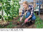 Купить «Young woman farmer caring for pea sprouts in a greenhouse», фото № 30325178, снято 28 февраля 2019 г. (c) Яков Филимонов / Фотобанк Лори