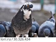 Купить «Wild city pigeons on a winter day», фото № 30326434, снято 17 февраля 2019 г. (c) Владимир Белобаба / Фотобанк Лори