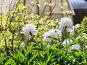 Купить «Beautiful white peonies in the morning garden», фото № 30328158, снято 18 марта 2019 г. (c) Ekaterina Andreeva / Фотобанк Лори