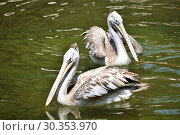 Купить «Spot-billed pelican, Pelecanus philippensis sp,Hyderabad,Telanagana, India.», фото № 30353970, снято 18 марта 2018 г. (c) age Fotostock / Фотобанк Лори