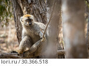Купить «Red-fronted Brown Lemur in Isalo National Park, Madagascar.», фото № 30366518, снято 23 мая 2019 г. (c) age Fotostock / Фотобанк Лори