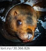 Морской лев. Стоковое фото, фотограф А. А. Пирагис / Фотобанк Лори