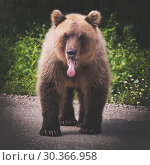 Купить «Бурый медведь», фото № 30366958, снято 30 июля 2018 г. (c) А. А. Пирагис / Фотобанк Лори