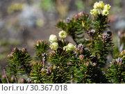 Купить «Кустик можжевельника сибирского Juniperus sibirica», фото № 30367018, снято 28 сентября 2018 г. (c) А. А. Пирагис / Фотобанк Лори
