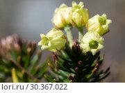 Купить «Цветки можжевельника сибирского Juniperus sibirica», фото № 30367022, снято 28 сентября 2018 г. (c) А. А. Пирагис / Фотобанк Лори