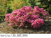Купить «Flowering shrub of pink rhododendron in the spring garden», фото № 30385990, снято 11 мая 2015 г. (c) Юлия Бабкина / Фотобанк Лори