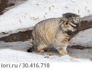 Купить «Манул, или Палласов кот, или дикий кот», фото № 30416718, снято 20 февраля 2015 г. (c) Галина Савина / Фотобанк Лори