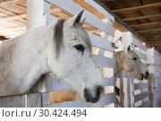 Купить «Two horses gray suit in the stalls in the stable», фото № 30424494, снято 20 марта 2019 г. (c) Наталья Волкова / Фотобанк Лори
