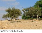 Купить «Negev desert of southern Israel. Green trees in Sde Boker. Nubian ibex (Capra nubiana sinaitica», фото № 30424506, снято 4 августа 2018 г. (c) Валерия Попова / Фотобанк Лори