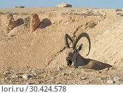 Купить «Nubian ibex, male (Capra nubiana sinaitica) in desert mountains. Negev desert of southern Israel», фото № 30424578, снято 12 августа 2018 г. (c) Валерия Попова / Фотобанк Лори