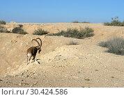 Купить «Nubian ibex (Capra nubiana sinaitica) goes in Negev desert of southern Israel», фото № 30424586, снято 12 августа 2018 г. (c) Валерия Попова / Фотобанк Лори