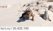 Купить «exuma island iguana in the bahamas», фото № 30435190, снято 14 февраля 2013 г. (c) Syda Productions / Фотобанк Лори