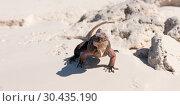 exuma island iguana in the bahamas. Стоковое фото, фотограф Syda Productions / Фотобанк Лори