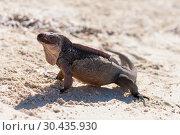 Купить «exuma island iguana in the bahamas», фото № 30435930, снято 14 февраля 2013 г. (c) Syda Productions / Фотобанк Лори