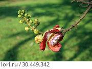 Купить «Курупита гвианская (Couroupita guianensis). Ветка с цветком растения крупным планом в Таиланде», фото № 30449342, снято 21 марта 2019 г. (c) Григорий Писоцкий / Фотобанк Лори