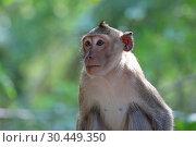 Купить «Макак-крабоед (лат. Macaca fascicularis) или яванский макак. Портрет дикой обезьяны в Таиланде», фото № 30449350, снято 21 марта 2019 г. (c) Григорий Писоцкий / Фотобанк Лори