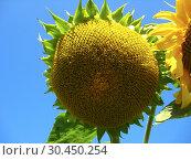 Beautiful green sunflower with seeds. Стоковое фото, фотограф Александр Птах / Фотобанк Лори