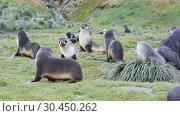 Купить «Antarctic fur seal pup close up in grass», видеоролик № 30450262, снято 23 марта 2017 г. (c) Vladimir / Фотобанк Лори