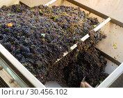 Купить «Blue grapes in crusher machine in winery», фото № 30456102, снято 13 сентября 2018 г. (c) Яков Филимонов / Фотобанк Лори