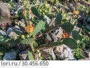 Купить «Opuntia ficus-indica with orange flowers in nature», фото № 30456650, снято 4 июня 2018 г. (c) Володина Ольга / Фотобанк Лори