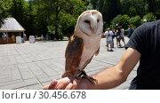 Купить «A barn owl on the arm of a street animator for tourists in Abkhazia», видеоролик № 30456678, снято 28 февраля 2019 г. (c) Володина Ольга / Фотобанк Лори