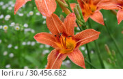 Купить «Beetles pollinate orange daylilies on the flowerbed», видеоролик № 30456682, снято 1 июля 2018 г. (c) Володина Ольга / Фотобанк Лори