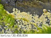 Mesophyllum lichenoides is a crustose red alga with calcareous skeleton. At left Enteromorpha intestinalis, a green alga. This photo was taken in Cap Ras, Girona province, Catalonia, Spain. Стоковое фото, фотограф J M Barres / age Fotostock / Фотобанк Лори