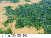 Sea lettuce (Ulva lactuca) is an edible green alga. This photo was taken in Delta de L'Ebre Biosphere Reserve, Tarragona province, Catalonia, Spain. Стоковое фото, фотограф J M Barres / age Fotostock / Фотобанк Лори