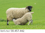 Hexham Blackface ewe with mule lamb suckling. Стоковое фото, фотограф Farm Images \ UIG / age Fotostock / Фотобанк Лори