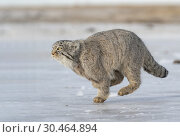 Asie, Mongolie, Est de la Mongolie, Steppe, Chat de Pallas Otocolobus manul), se déplace en courant / Asia, Mongolia, East Mongolia, Steppe area, Pallas's cat (Otocolobus manul), moving, running. Стоковое фото, фотограф Morales / age Fotostock / Фотобанк Лори