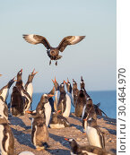 Preying on Gentoo Penguins (Pygoscelis papua) hovering over colony.Falkland Skua or Brown Skua (Stercorarius antarcticus, exact taxonomy is under dispute... Стоковое фото, фотограф Martin Zwick / age Fotostock / Фотобанк Лори